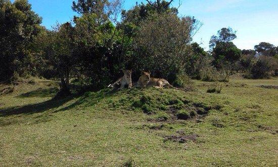 Losokwan Camp Maasai Mara: The Lions reminded me of Lion King. I called them Simba and Mufasa