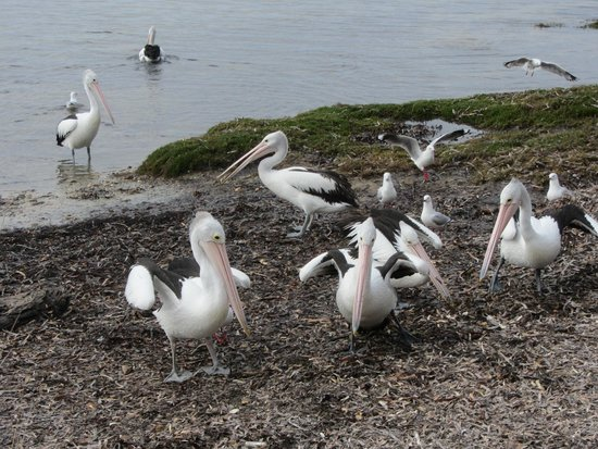 Mercure Kangaroo Island Lodge: Pelicans gathering for a feed