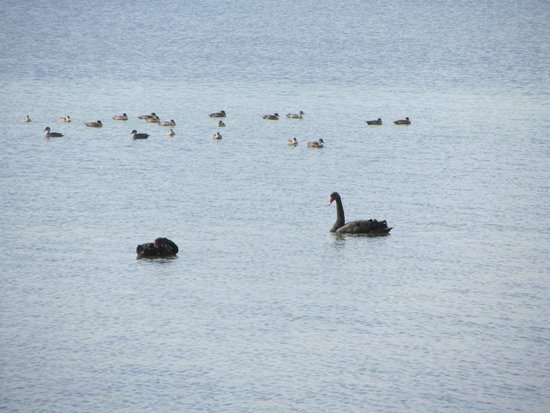 Mercure Kangaroo Island Lodge: Swans and cygnets at American River