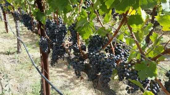 Judd's Hill Winery and MicroCrush: Grapes