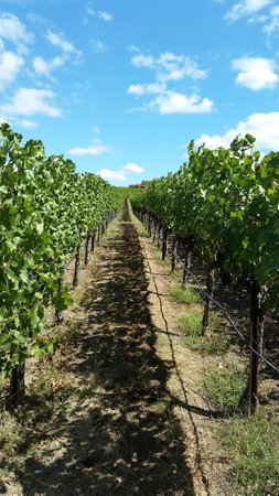 Judd's Hill Winery and MicroCrush: Vines