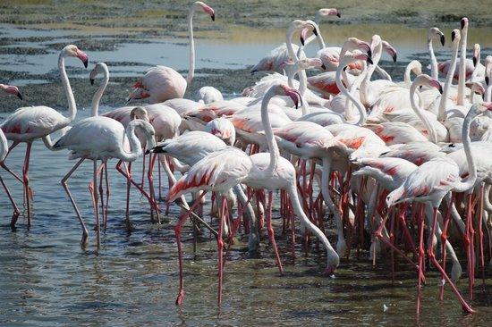 Ras Al Khor Wildlife Sanctuary: Flamingos