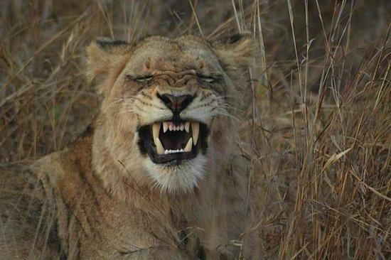 Inyati Game Lodge : Lion yawning