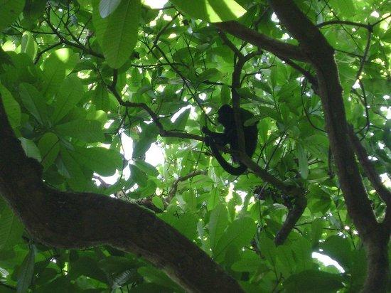 Curu National Wildlife Refuge: Singe hurleur noir, Curu, Costa Rica