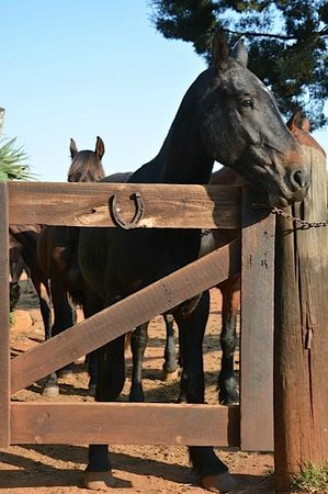 Kaapsehoop Horse Trails Day Trips: Eager to get in the gate