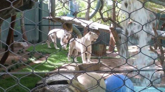 las vegas mirage tiger
