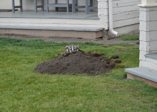 Mammoth Hot Springs Hotel & Cabins : Other guest - Badger adding to front lawn of cabin