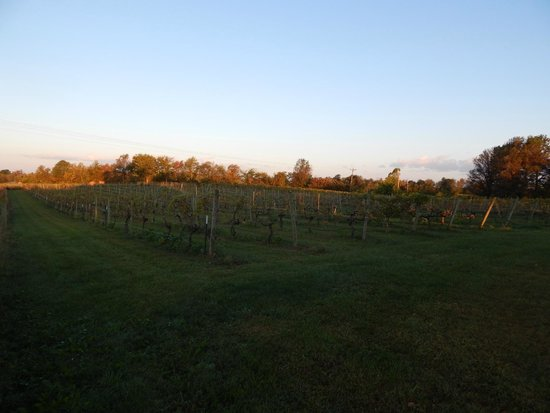 Springhill Winery: grapes/vines
