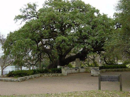 Landa Park: Landa Founders Oak