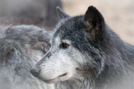 Wolf Sanctuary of PA: Another member of the pack