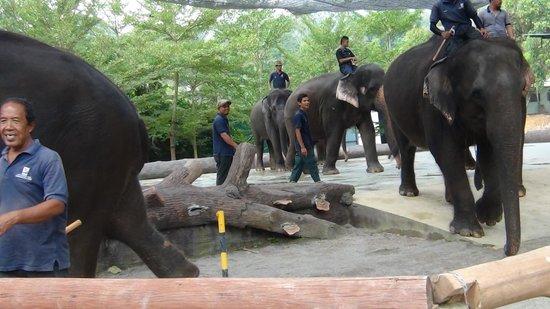 Kuala Gandah Elephant Sanctuary: Adult Elephants on the move
