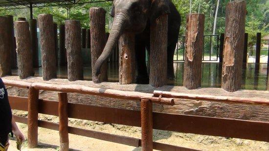 Kuala Gandah Elephant Sanctuary: Feeding