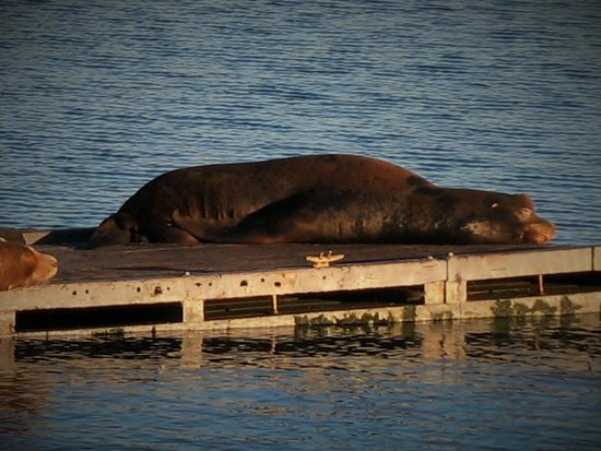Sleeping Seal hanging around Chart Room Restaurant - Picture of ...