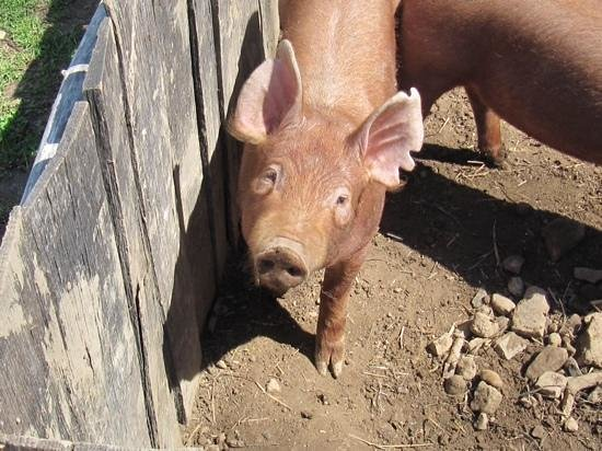 Land Between the Lakes National Recreation Area: Little piggy on Homestead Farm---LBL