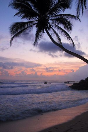 Frangipani Tree: sunset/beach