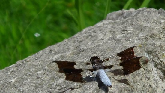 Dragonfly at Evergreen Cemetery