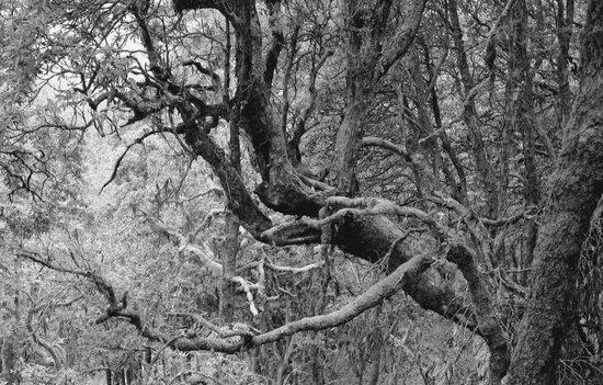 Mary Budden Estate: Himalayan Oak in Binsar