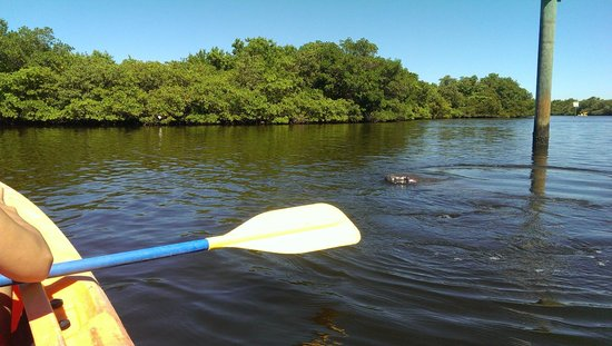 Tierra Verde, FL: Kayaking with Manatee in Fort De Soto Park