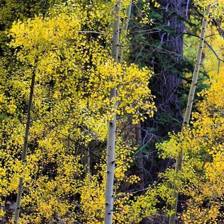 Big Bear Region, CA: Beautiful fall foliage in Big Bear Lake, CA.