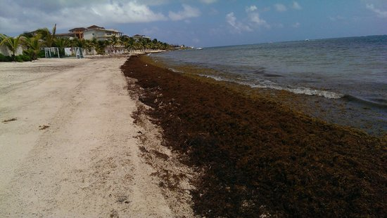 Seaweed Problem On The Beach - Picture of Azul Beach Resort Resort