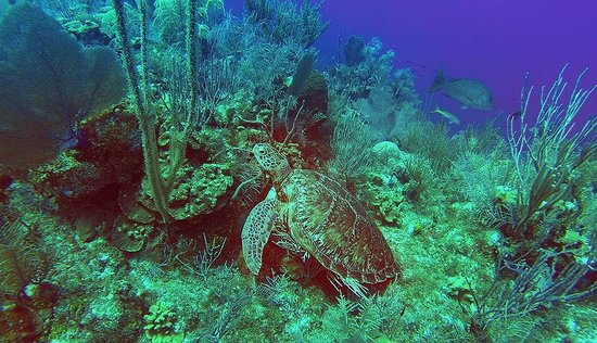 Cayman Marine Lab : Turtle just hanging out at 70ft.