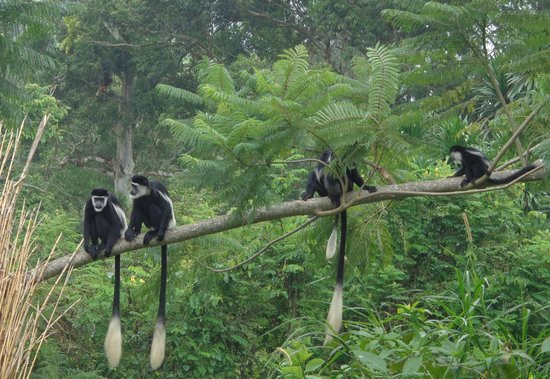 Western Region, Uganda: Black & White Colobus Monkeys on the grounds.