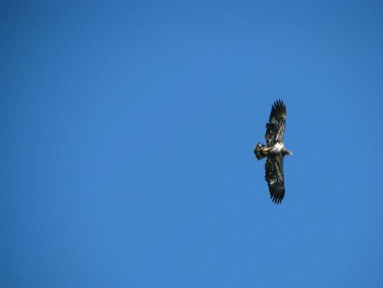 Happy Hollow Resort: Immature bald eagle in flight.