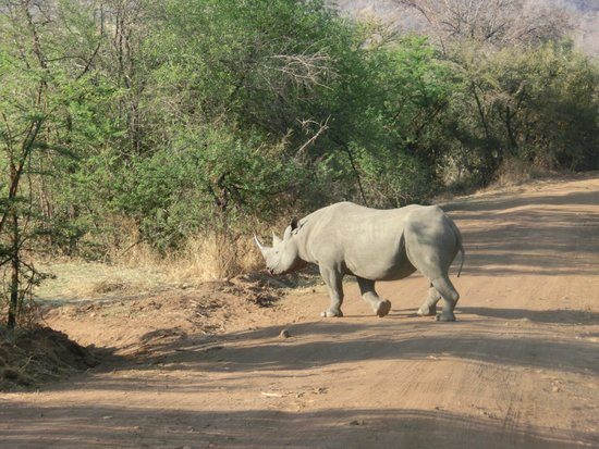 Pilanesberg Safaris and Tours: Black Rhino