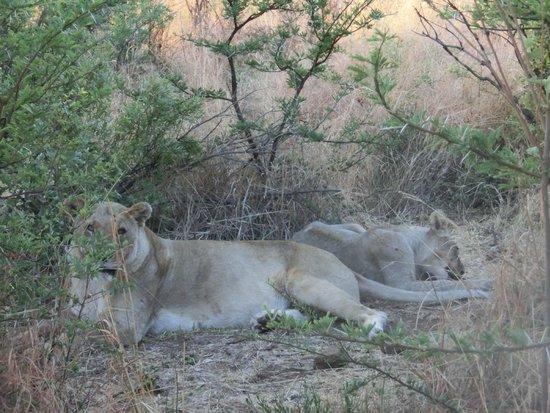 Pilanesberg Safaris and Tours: Lion