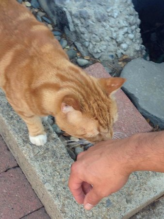 Three Rivers, Californië: Love this orange tabby!