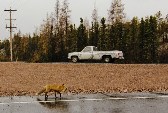 My Backyard Tours - Day Tours: Fox encountered on the way to the Cameron Fall