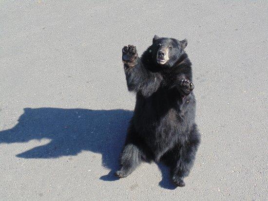Yellowstone Bear World : hello