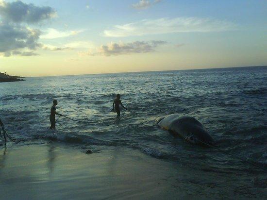 Остров Лембата, Индонезия: hasil buruan ditarik dari laut