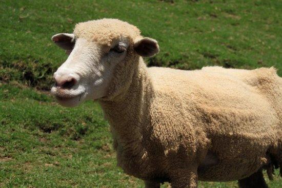 Qingjing Farm Guest House: Sheep!