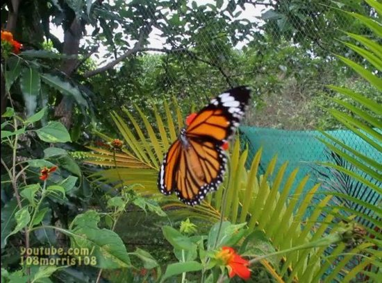 Kep Butterfly Farm : 1 of 100's of butterflies flying around