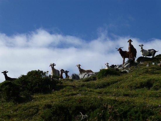 Parque Natural de Somiedo: Cabras en Somiedo