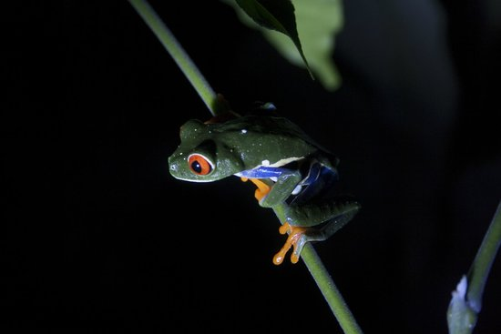 Monteverde Theme Park: Rana de ojos de verdes