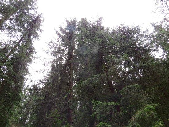 Lago di Carezza : 針葉樹の森
