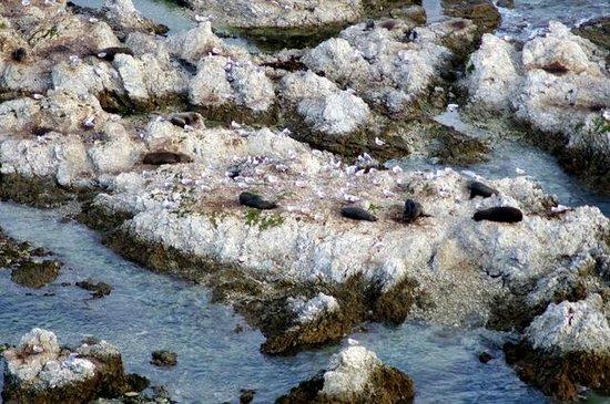 Kaikoura Peninsula Walkway : seals