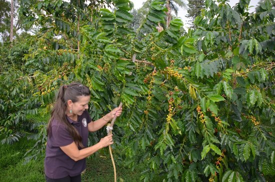 Hula Daddy Kona Coffee: Karen showing us how they pick the cherries at the top of the branch