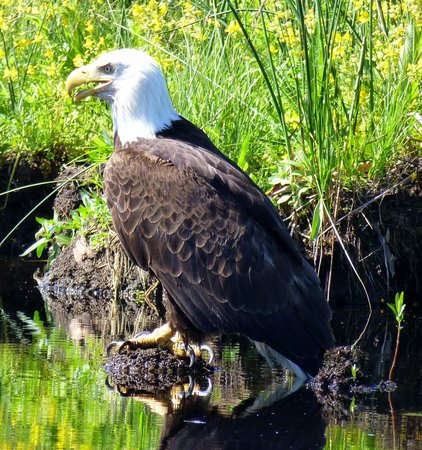 Rocky Point Resort: Bald Eagle seen from the canoe trail