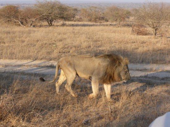 andBeyond Kirkman's Kamp: leeuw