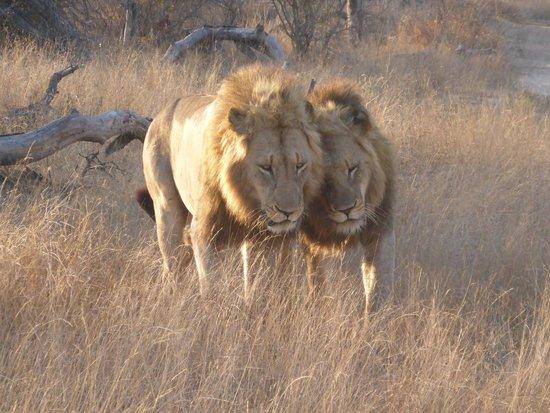 andBeyond Kirkman's Kamp : 2 leeuwen