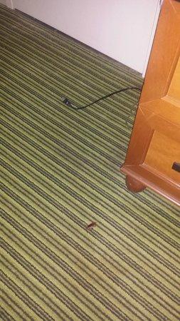 Hilton Orlando Lake Buena Vista: Roach!