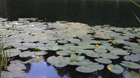 Central Botanical Garden of the National Academy of Sciences of Belarus: Lotus