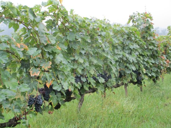 Palazzo Bandino: Grapevines loaded with grapes ready to be harvested.
