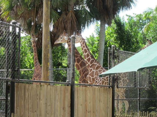 Naples Zoo at Caribbean Gardens: Giraffe at Naples Zoo