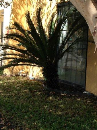 لا كوينتا إن سان أنطونيو ليك لاند: sago palm