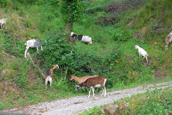 Casa Vacanze Le Muse: As we drove up to the hotel, we were greeted by a herd of goats
