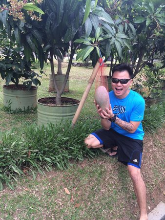 Gracia Spa and Resort: Huge mangoes that I ever seen